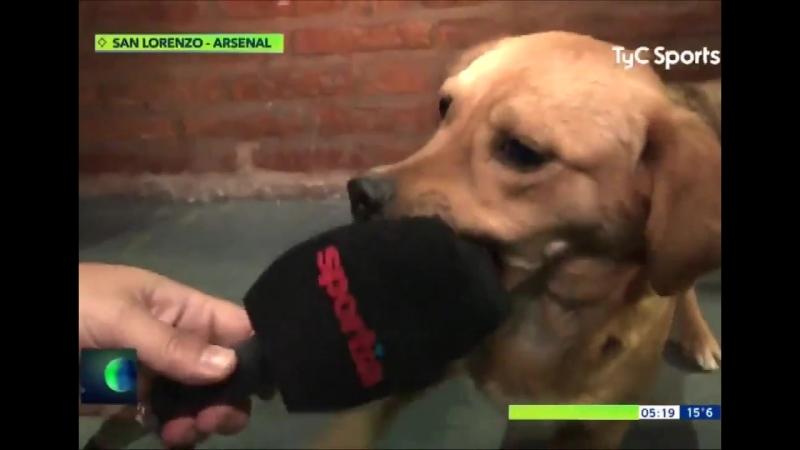 Футбол / Аргентина / Собака выбежала на поле во время матча