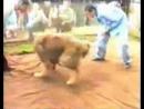 собачьи бои 18 питбуль и кавказский волкодав