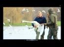 События Спасение лебедя Gulbės gelbėjimas