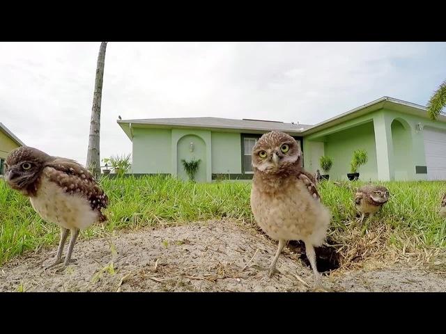 Owls Dance