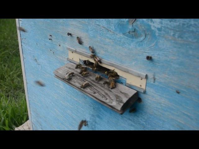 Бджілки-трудівниці / Пчелки-труженицы