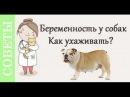 Беременность собак, как ухаживать? Советы ветеринара.