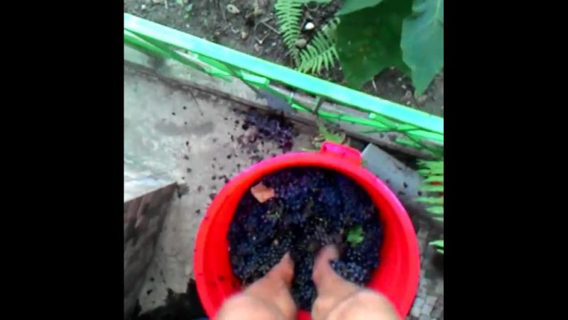 давлю виноград для вина