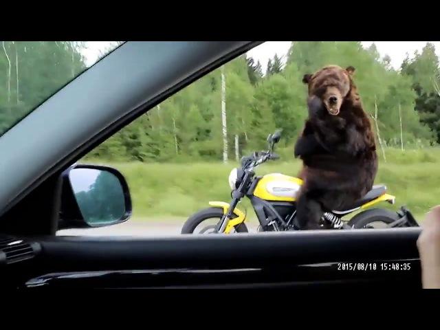 Медведь за рулём мотоцикла