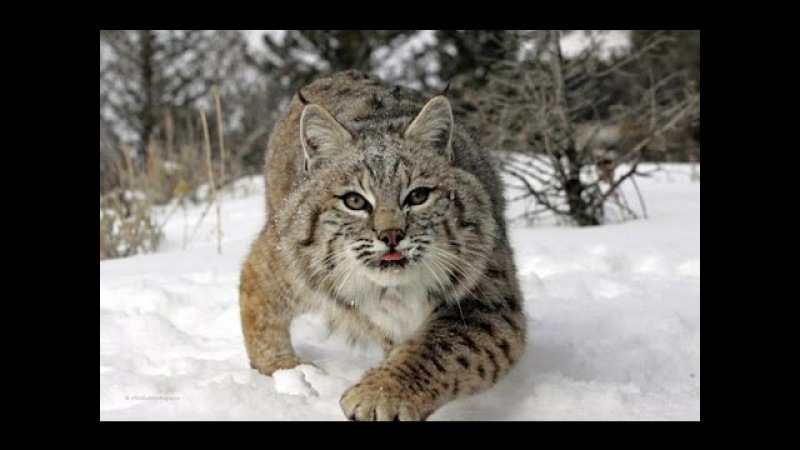 Неуловимый охотник Рысь National Geographic