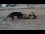 собачьи бои 18+ Немецкая овчарка против Пита (отрывок)