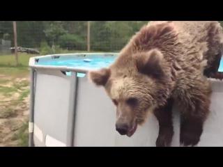 Медведь-здоровяк играет в бассейне