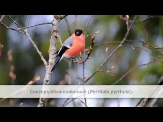 Пение птиц. Снегирь обыкновенный (Pyrrhula pyrrhula).