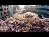 Sakura birds-eye view