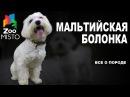 Мальтийская Болонка - Все о породе собаки   Собака породы - Болонка