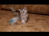 Кошка Anita Volga Dawns SCS fs22 3,5мес