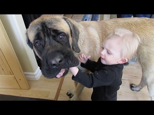 TRY NOT TO LAUGH or GRIN: Funny Mastiff Dog and Baby Compilation
