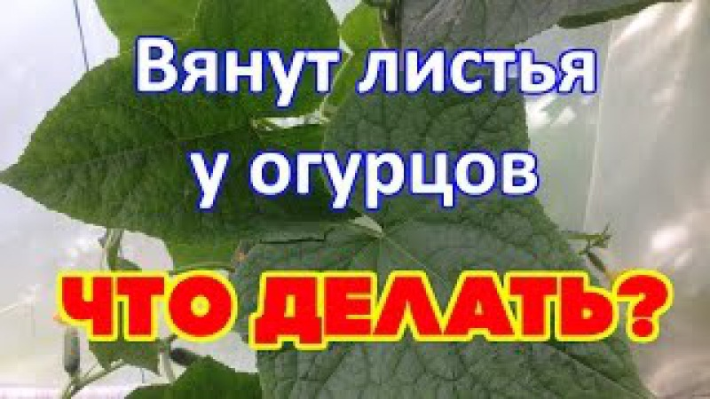 Выращивание огурцов. Почему сохнут листья( Фузариозное увядание огурцов)