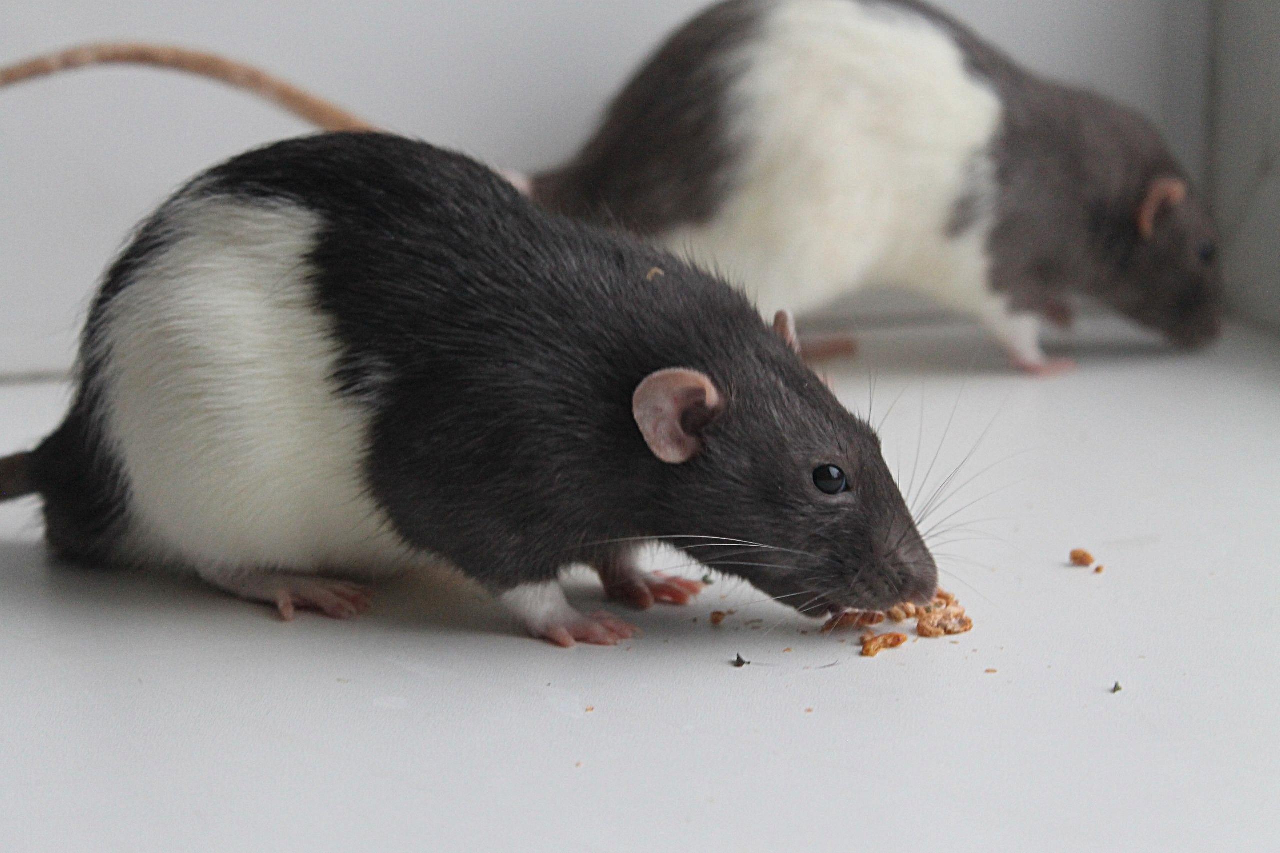 пятнистая крыса фото конкурентоспособности
