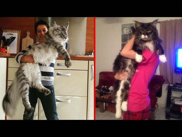 25 Maine Coon Cats That Will Make Your Cat Look Tiny