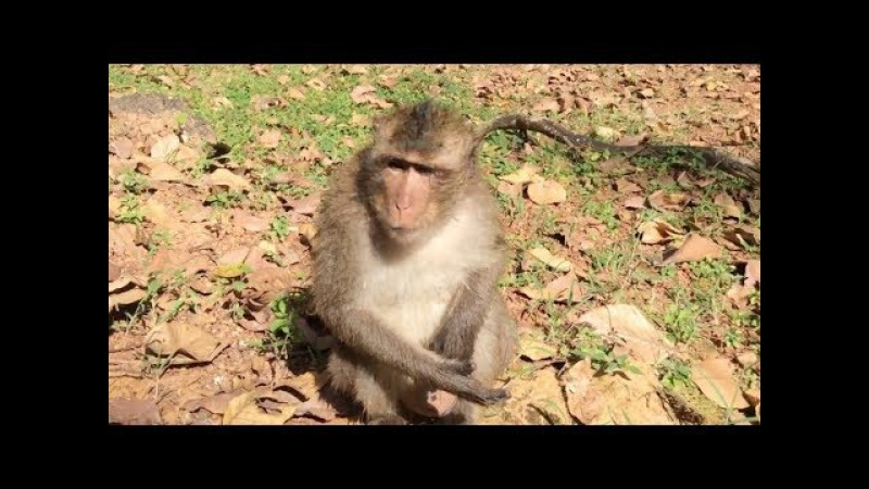 Monkey sick after get attack from other monkey, monkeys 1062 Tube BBC