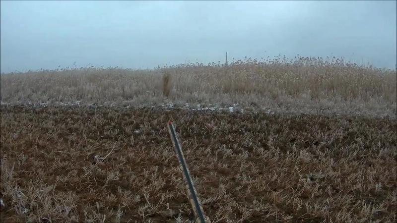 Охота на лису с гончими собаками!