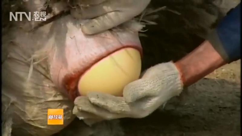 Кто какие яйца откладывает ''Шэй Фан И Се Дань''...или несёт яйца, как курица ''Му Цзи Шэн Дань''? 01. Страусы ''То Цзи'' (курин