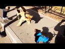Бои без правил,лев против собаки