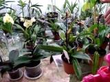 Как поливать орхидеи. Как я поливаю орхидею. Личный опыт. Фаленопсис, Ванда, Мильтония, Дендробиум.