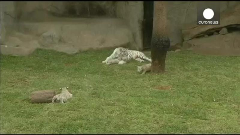 Видео- три белых тигренка - звезды перуанского зоопарка