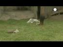 Видео три белых тигренка звезды перуанского зоопарка