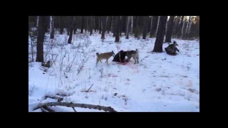 Рай ради охотника, охота на кабана  со лайками, видео взглядывать предварительно конца!