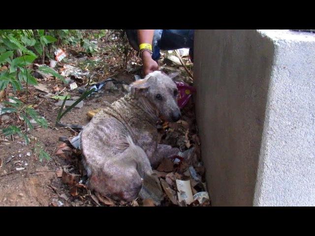 Спасение старого уличного пса, умирающего на одной из улиц в Индии / О собаке, человеке, и не только...