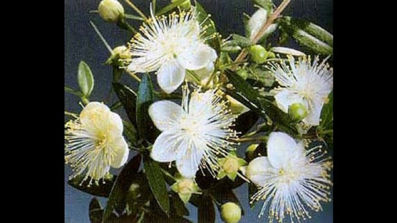 Мирт обыкновенный -(Murtus communis).