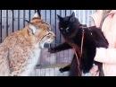 РЕАКЦИЯ РЫСИ НА ПОЯВЛЕНИЕ МЕЙН КУНА В ВОЛЬЕРЕ Первая прогулка котёнка вне дома Lynx reaction