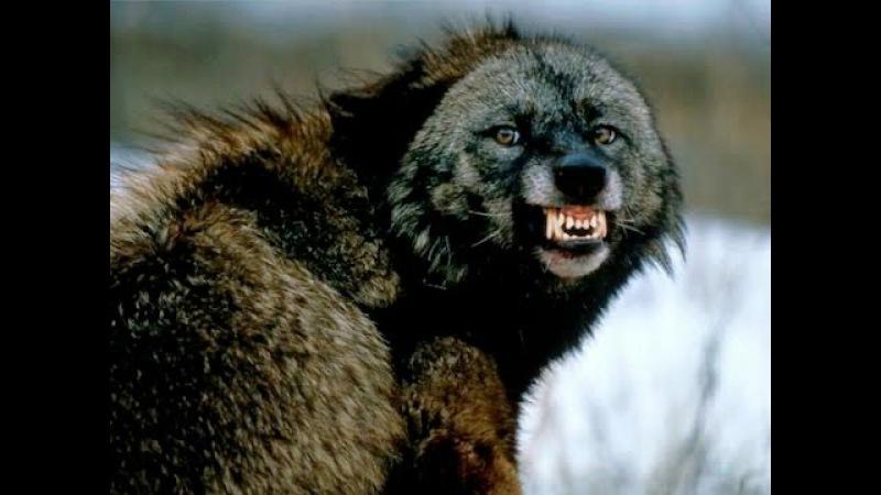 Волк одиночка Альфа самец Черные волки Лучший охотник! Суперхищник! Nat Geo Wild HD