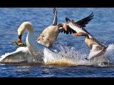 ТОП 5 ЯРОСТНЫХ АТАК ЩУКИ НА УТЯТ И УТОК Вот это Рыбалка Ты не поверишь 2017 #ЩУКА АТАКУЕТ УТКУ УТЯТ щука на охоте #Рыбалка ВЫДРУ ОНДАТРУ КРОТА КОТА КОТЯТ ЩУКУ РЫБОЛОВА и РЫБАКА Вот это Рыбалка Ты не поверишь #2017 РЫБАЛКА 2017 лучшие моменты Щука атакует