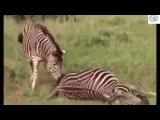 Touching story    zebra criticize his wife and son from death