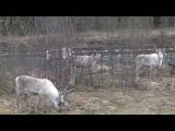 На Шведско Норвежской границе,к нашему удовольствию,паслась стайка оленей