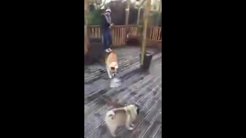 собака - танк