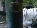 белый тигр альбинос
