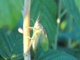 Малинный кузнечик - любит стрекотать крылышками так что аж на всю округу шум стоит MAH00757