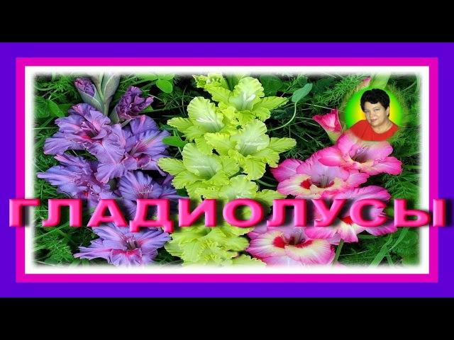 ГЛАДИОЛУСЫ - цветы лета и осени ГЛАДИОЛУСЫ - КРАСАВЦЫ!