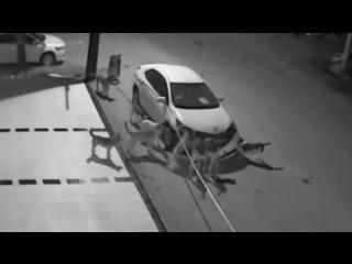 Stray dogs destroy a car in turkey - бродячие собаки съели машину