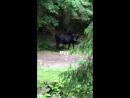 Коровы в Карпатах