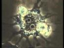Иммунитет под микроскопом. Как Т-лимфоциты распознают чужеродные клетки и уничт...