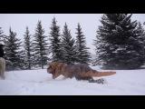 Skijoring T-Rex