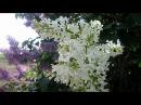 Весна. Цветёт Сирень. Гудят Пчёлы. Май (Spring. May. Lilac)