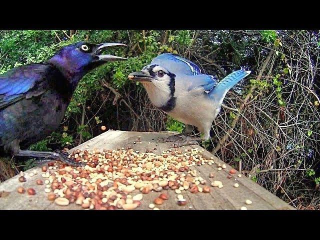 Grackles Versus Blue Jays Up Close