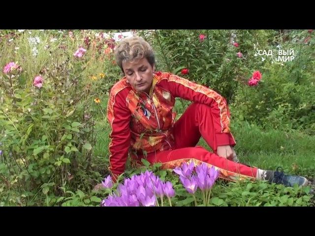 Неприхотливые цветы для сада Безвременники Сайт Садовый мир