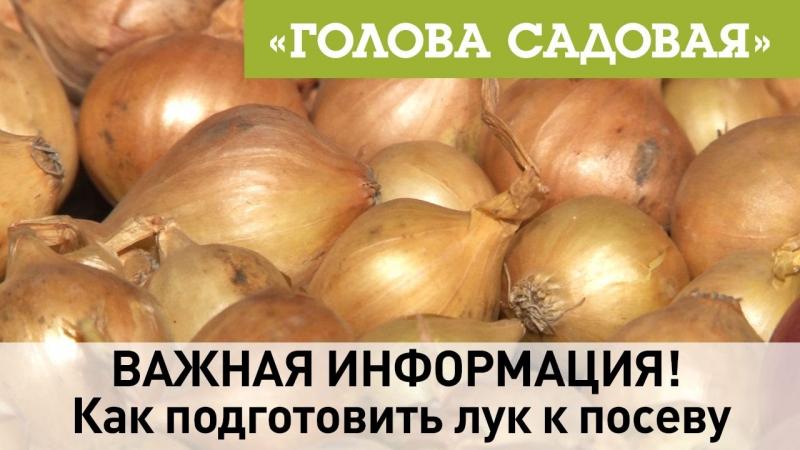 Голова садовая ВАЖНАЯ ИНФОРМАЦИЯ Как подготовить лук к посеву Часть 1