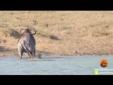 В южноафриканском парке Крюгера гиппопотамы пришли на помощь антилопе гну, попав