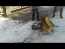 Сезара бои собачье