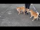жестокие собачьи бои