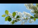 Черёмуха душистая с весною расцвела. Сергей Есенин (слушать стихи)